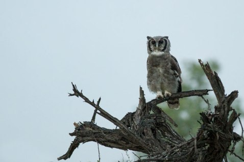 Verrauxa Eagle Owl at Londolozi
