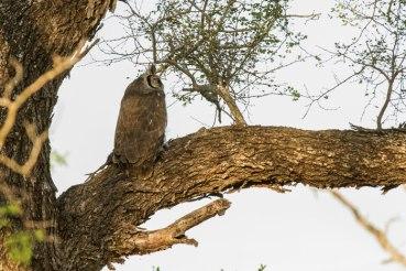 Verraux's Giant Eagle-owl with dead Guinea Fowl