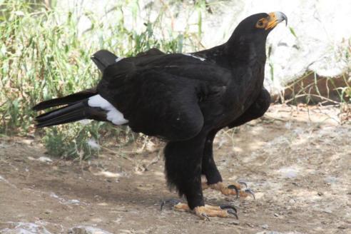 Verreaux's Eagle (Aquila verreauxii)2