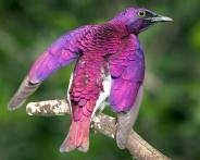 Violet-backed Starling (2)