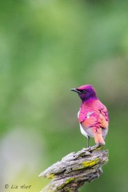 Violet-backed Starling (3)