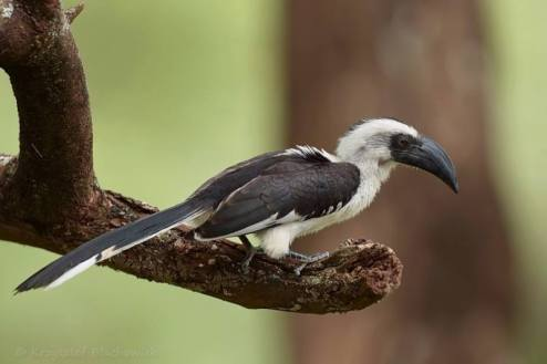 Von der Deckens Hornbill - Tockus deckeni © by Krzysztof Błachowiak
