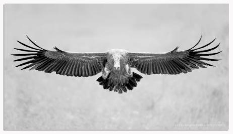 Vulture landing - Ross Couper Photography