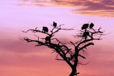vultures Singita