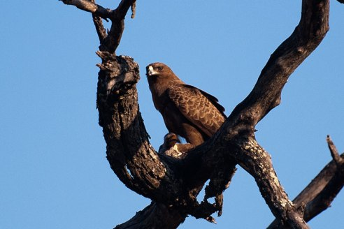 Wahlbergs eagle - 30Sept12 Londolozi