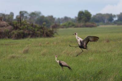 Wattled cranes in the Okavango Delta