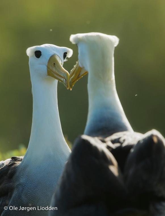 Waved albatrosses on Galapagos