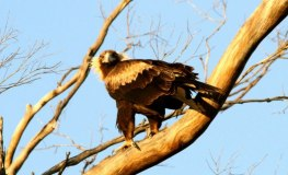 Wedge Tailed Eagle By Chriso Gogs Allen