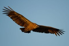 White back Vulture in flight