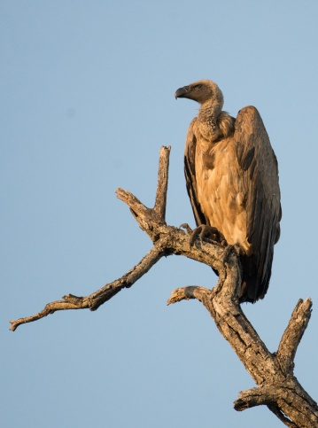 White Backed Vulture on Knob Thorn