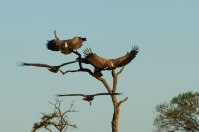 White-backed vultures on Leadwood tree - Londolozi April 2013