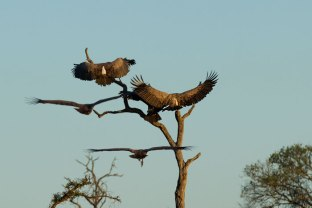 White-backed vultures on Leadwood tree - Londolozi April 2013