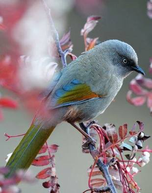 White-eyed Foliage-gleaner
