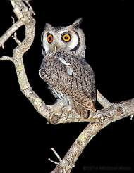 White Faced Owl by Michael Moss