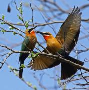 White Fronted male Bee Eater offers a bee to the female