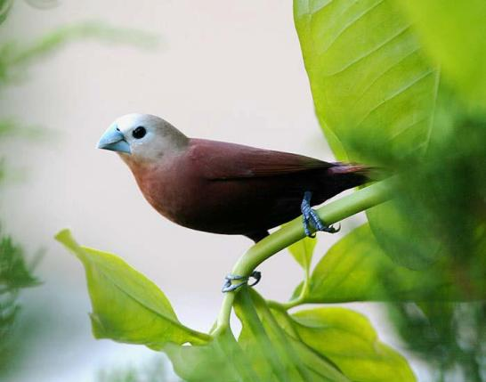 White Headed Munia Bali