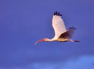 White Ibis Flying at Sunset