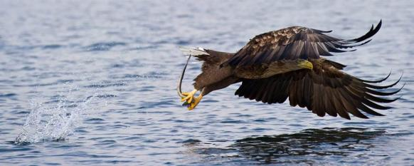 White-tailed Eagle (Haliaeetus albicilla) catches a fish - Patrick Pleul