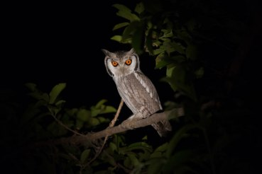 Whitefaced Scops Owl