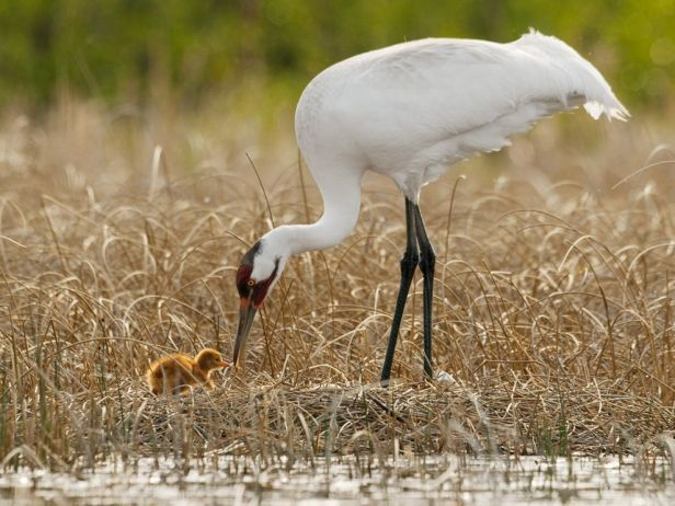 whooping-crane-hatchling_23256_990x742