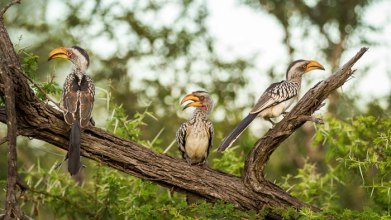 yellow billed hornbills