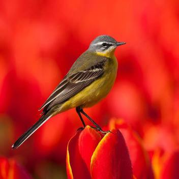 Yellow Wagtail - Motacilla flava- In the Netherlands by Willem de Wolf.