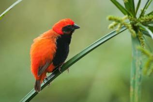 Zanzibar Red Bishop - Euplectes nigroventris © by Bartosz Budrewicz