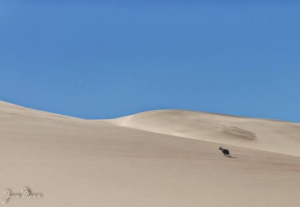 A brown hyena on the Namib Dunes.