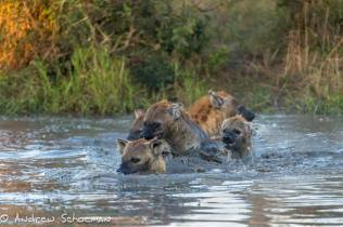 A great shot of hyaenas by Andrew Schoeman