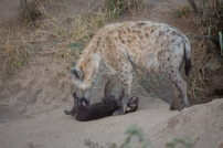 A hyena cub at the Hobbit's Hole den-site objects to a bath from its mother.
