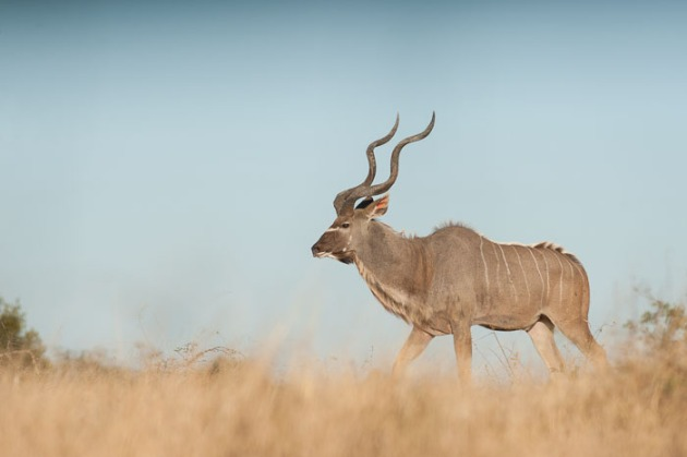 A kudu bull moves through an open clearing.
