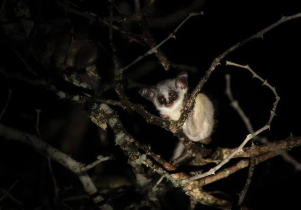 A very relaxed baby bushbaby keeping an eye on us - Londolozi Game Reserve