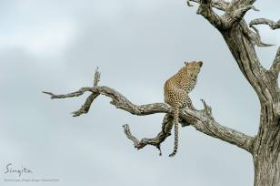 A young female leopard posed perfectly on a dead Leadwood tree during our morning drive at Singita Kruger National Park.