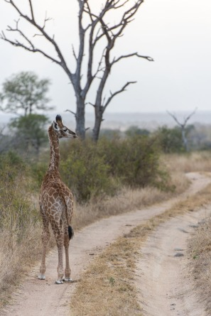 A young giraffe in the open areas.