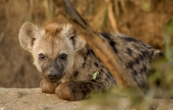 A young hyena rests in-between bouts of play at their den site. Trevor McCall-Peat