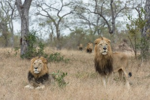 All four Majingilane males trailing a large herd of buffalo.