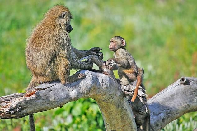 Baboon and Baby, Tanzania