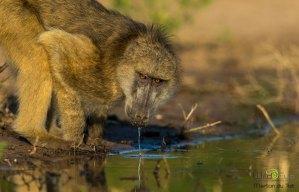 Baboon drinking