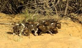 Baby African Wild Dogs - Lower Zambezi NP, Zambia