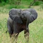 Baby Loxodonta Africana