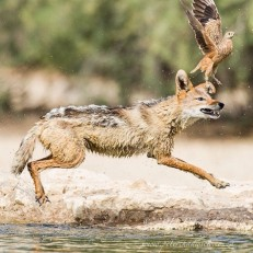 Black-backed Jackal Hunting Sandgrouse. Cubitjie Quap Waterhole, Nossob, Kgalagadi Transfrontier Park.
