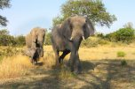 Breeding herd of elephants this morning - Londolozi