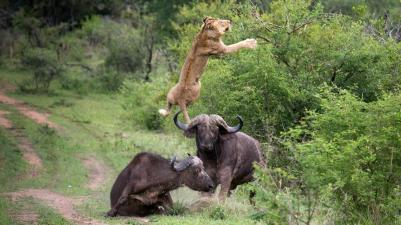 Buffalo launching lioness