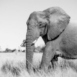 Contrasts and textures of elephants always intrigue the camera.