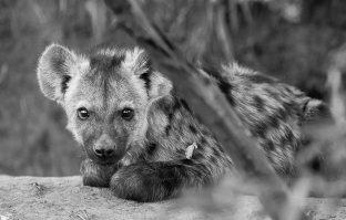 Curious young hyena