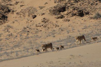 Desert Lions - Photo © Dr Flip Stander