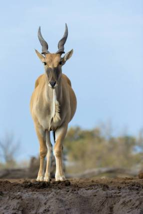 Eland coming in to drink