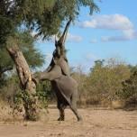 Elephant in Mana