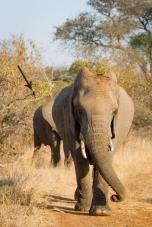elephant_drongo_arrow