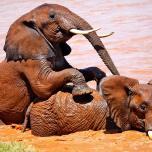 Elephants Adolescent Water Play - Samburu National Reserve.